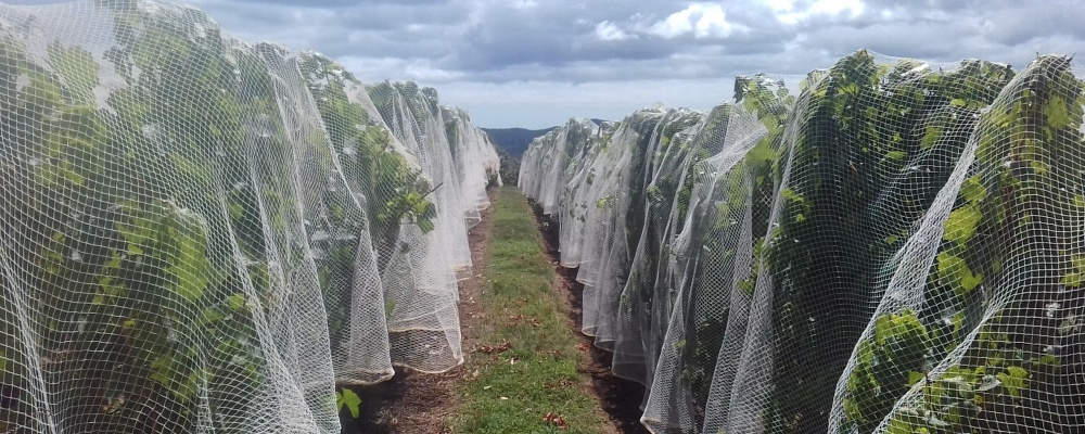 Nets hanging before clipping at Lebrina
